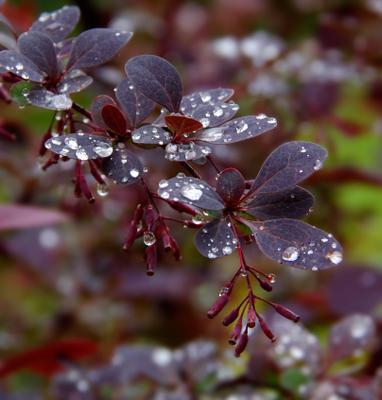 Барбариска после дождя барбарис капли лето