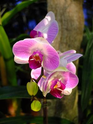 Phalaenopsis фаленопсис, орхидея