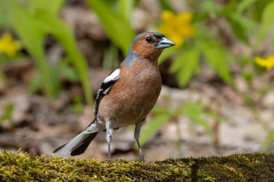 Зяблик (Fringílla coélebs) зяблик Fringílla coélebs птицы птица пернатые