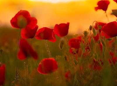 Маки на закате Цветы цветок мак маки Ставрополье флора цветущее весна лето закат на фоне красный оранжевый