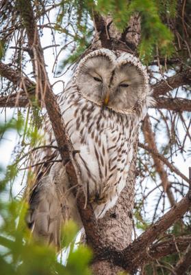 Длиннохвостая Неясыть / The Ural Owl / Strix uralensis