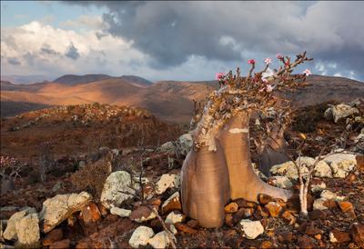 Клумба Сокотра бутылочное дерево