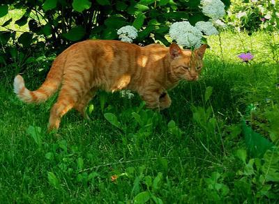 Рыжий сосед. лето Рыжий кот цветы трава