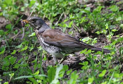 добыча птицы дрозд