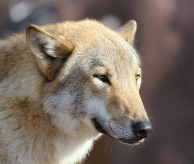 ...сытый волк не опасен ...*** волк животное заповедник сытый зверь