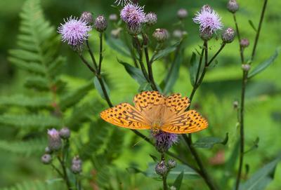 Перламутровка бабочка цветок бодяк полевой cirsium arvense перламутровка boloria макро