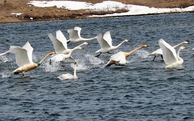 На взлете птицы лебеди кликуны сахалин взлет весна
