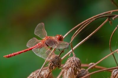 Стрекоза. сфдп большойгодроссии птица дикая природа животное ветвь дикий красный черный дерево зеленый птичий красочный лес крыло красивый цвет перо коричневый