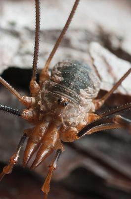 Сенокосец сенокосец обыкновенный phalangium opilio