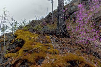 Хмурый день май лес сопка мох багульник Забайкалье