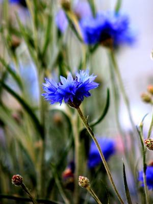 Васильки лето цветы красиво