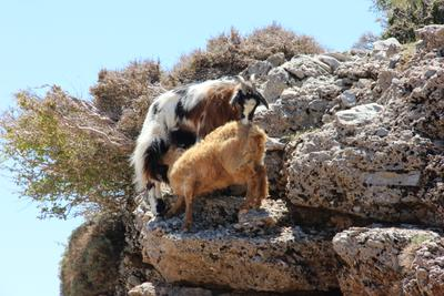 Время обеда Горные козы Крит