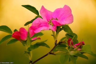 Шиповник природа лето лес шиповник