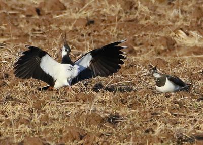 Чибис -Ухожер чибисы птицы