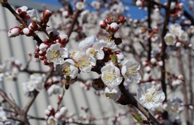 *** Абрикос пчела Апрель Цветы