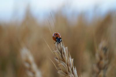 Где-то в поле... пшеница поле божья коровка небо