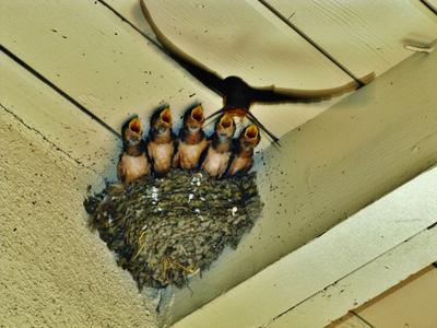Дирижёр и хор дирижёр хор деревенская ласточка ласточка-касатка ласточкино гнездо птенцы птица barn swallow hirundo rustica bird chick nest chorus conductor
