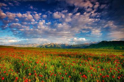 Весенний сон киргизия бишкек ала-тоо горы май маки горные цветы lazy_vlad lazyvladphoto nophotoshop