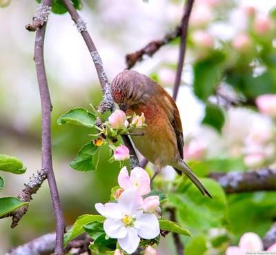 Коноплянка в цветах вишни птицы