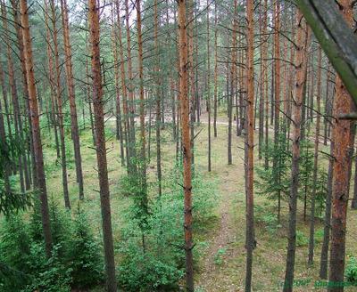 спокойствие лес ель
