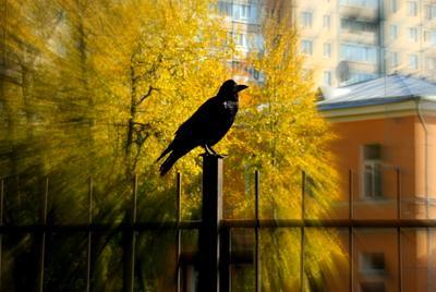 Черный ворон! Ворон