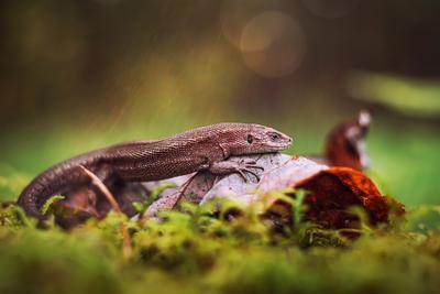 пригрелась на солнышке ящерица природа лес макро