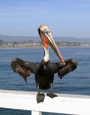 Y nas na raione pelican, krutoi chel