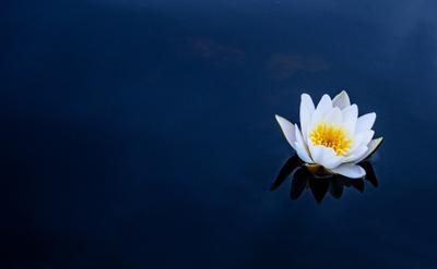 кувшинка цветы белая кувшинка