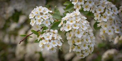 Разневестилась... природа лето июнь цветение невеста разневестилась белый цвет гроздья