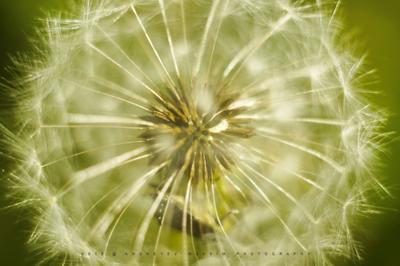 Макромир Одуванчик природа макро растение внутренний