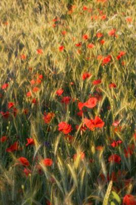 маки маки поле лето