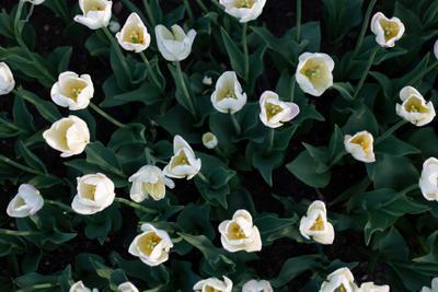 Тюльпаны тюльпаны tulips flowers цветы белые лето