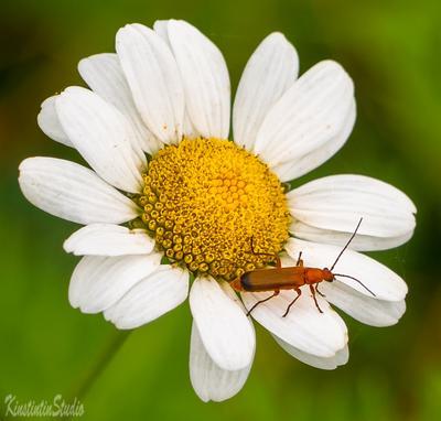 ***Ромашка...С тараканом*** Ромашка таракан осень сентябрь