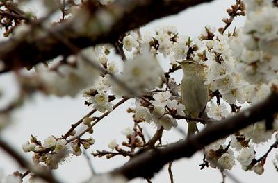 *** абрикос, цветы, птица