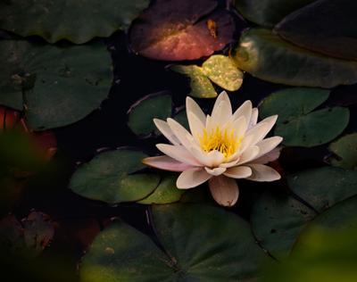 Кувшинка кувшинка, лилия, цветок, болото, пруд