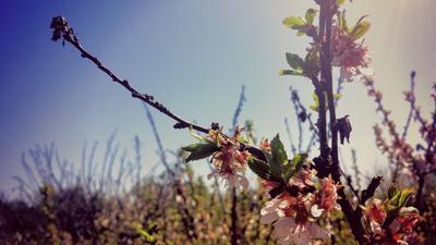 ветвь цветущей вишни