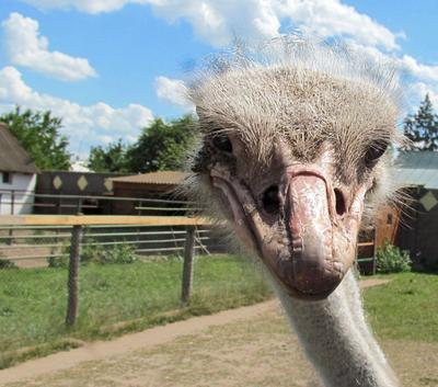 А вот и птичка... птицы страус африканский животные зоопарк
