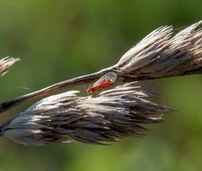 *** Psyllidae Листоблошки Raynox