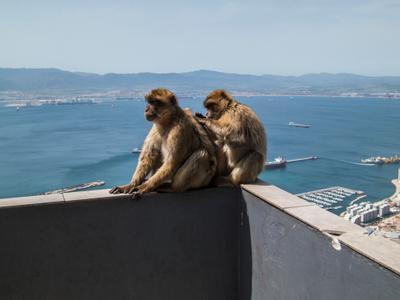Ищем блох Обезьян на Гибралтаре много