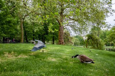 Канадский гусь - хозяин парка... (3) Лондон Риджентс-Парк
