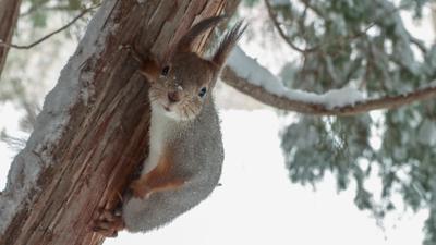 А орешки принесли? Белки белка обыкновенная кормим белок с рук белки летяги белкин запасы в лесу орех