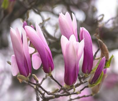 Хоровод цветы магнолия весна макро розовый природа