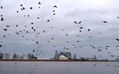 Переполох в Петродворцовой гавани. Перергоф Петродворец залив птицы галки переполох
