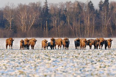 Бизоны Бизоны природа жывотные