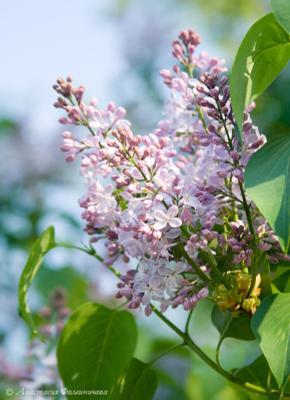 Сирень весна цветы сирень