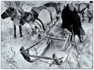 *Лопарка* фотография путешествие Россия весна животные упряжка саами фоторабота портрет жанр остальное