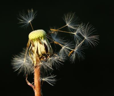 Одуванчик. Шаварёв природа фотография
