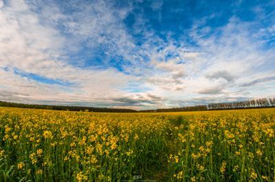 Белорусская весна рапс поле небо Республика Беларусь Белоруссия облака горизонт весна пейзаж цветы