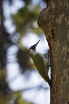 зеленый дятел птицы природа