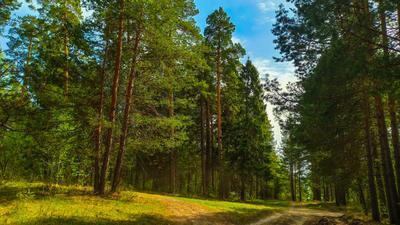 Ёлки-палки лес природа